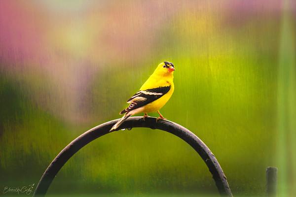 Elaine birds