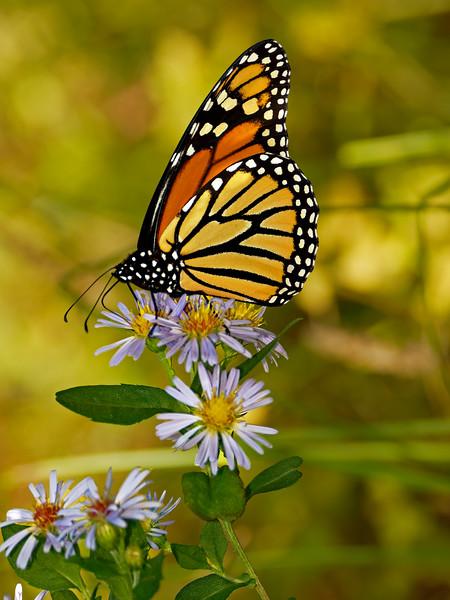 Appleton Farm Monarch on NY aster (S. novi-belgii)