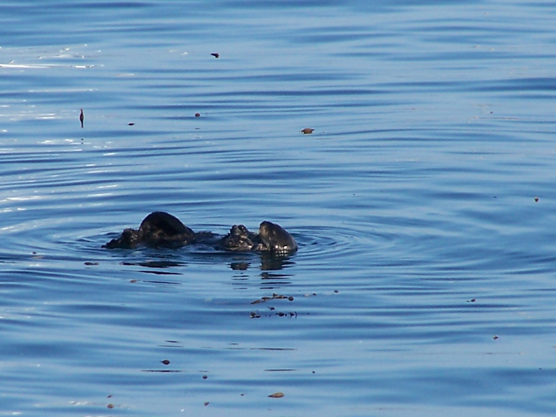 Southern Sea Otters wear the world's densest fur- more than a million hairs per square inch.