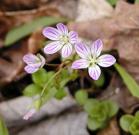Very pink striped Spring Beauty lines the slopes at the beginning of Chestnut Top Trail.  