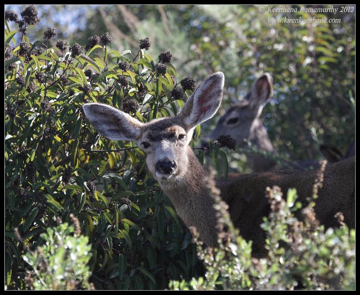 Mule Deer, Lake Jennings, San Diego County, California, January 2012