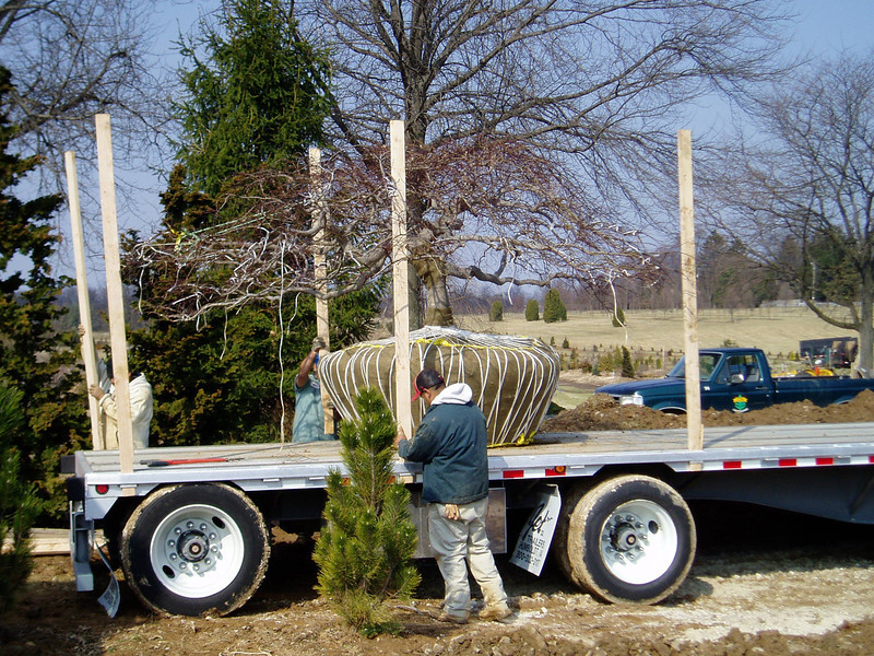 Specimen Maple being prepared to ship. Wooden crates are built around each tree to ensure safe transport.