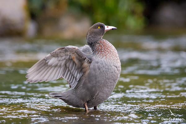 Whio/Blue Duck (NZ)