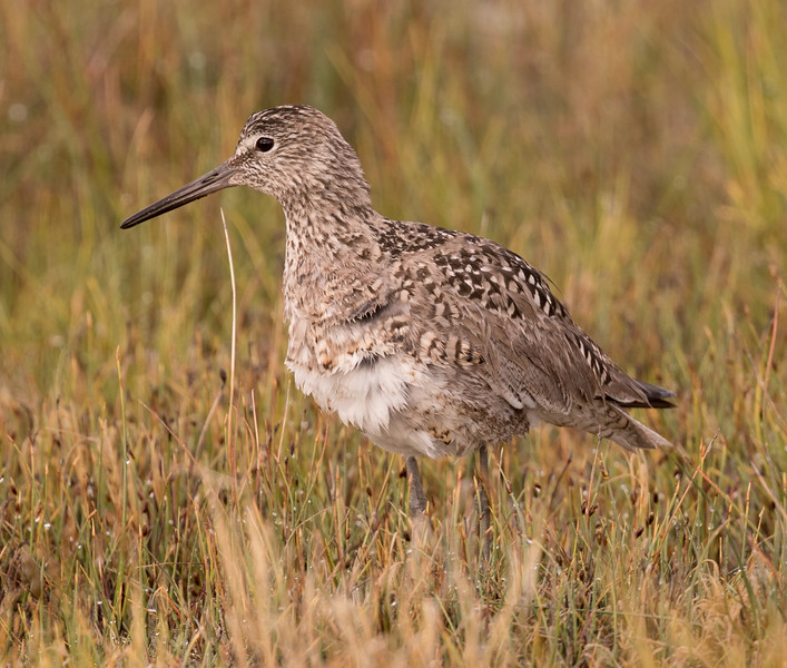 Willet  Crowley Lake 2016 05 26-1.CR2