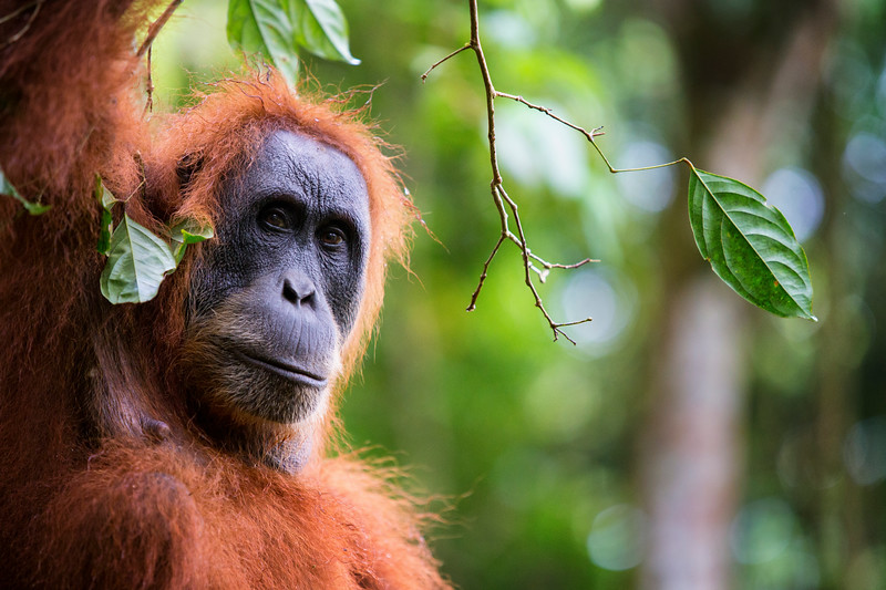 A female critically engangered Sumatran Orangutan in Gunung Leuser National Park, Sumatra, Indonesia