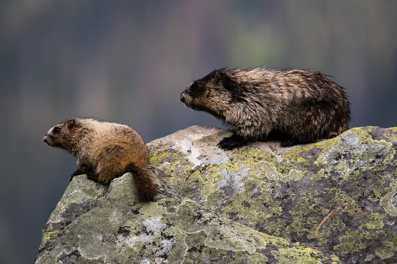 Marmots Glacier NP Canada 2019-18.jpg