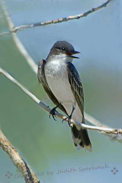 Eastern Kingbird ~ This kingbird was photographed recently at Barr Lake State Park in Colorado.