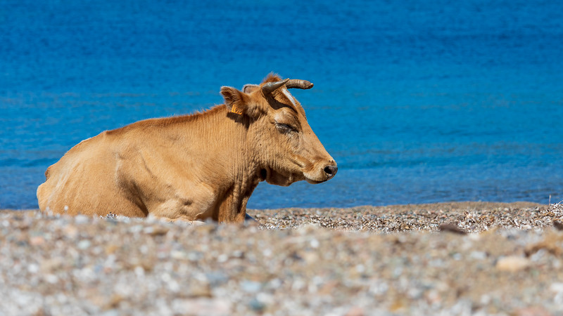 Une vache en liberté sur la page de Galéria (A cow in the wild on the Galéria page)