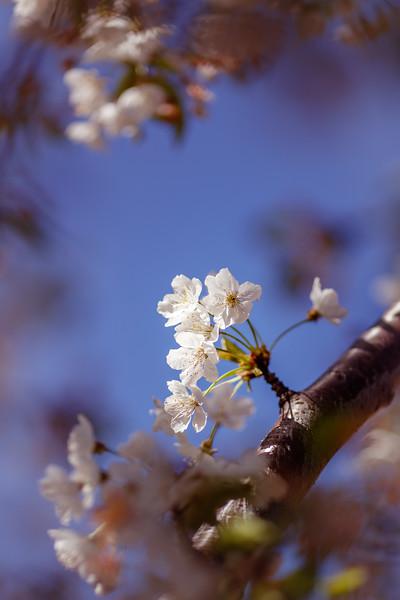 Spring '17 - Backyard Cherry Blossoms