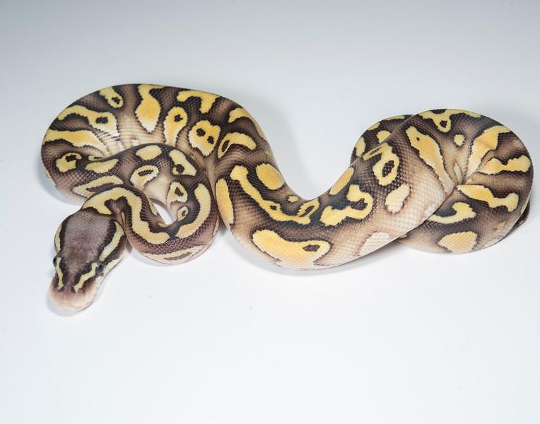 B2118, Female Pastel Lesser