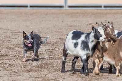 Herding Dogs Training 12-15-2020