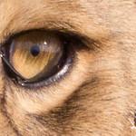 Lions Masai Mara - S-7.jpg