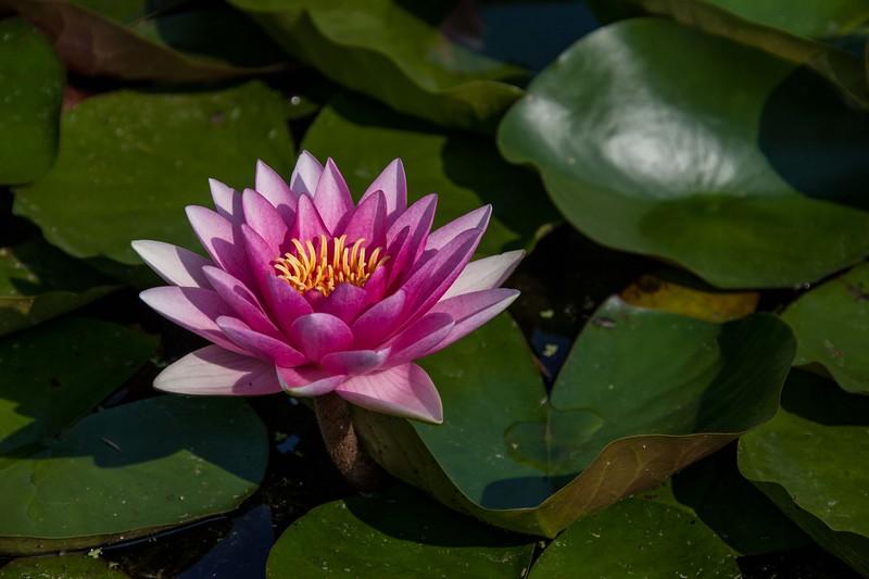 lotus water lilies-3113.jpg