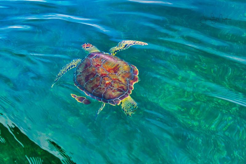 Turtle swimming away.jpeg
