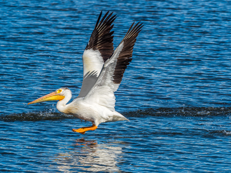 03 0087 Pelican-Walks-on-Water.jpg