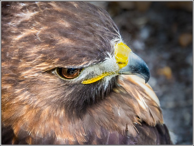 DIGITAL-COLOR-ADVANCED-SILVER-PORTRAIT OF A HAWK-ROBERT WINCH