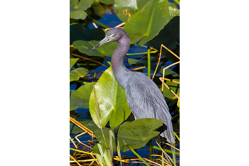 Little Blue Heron Environment