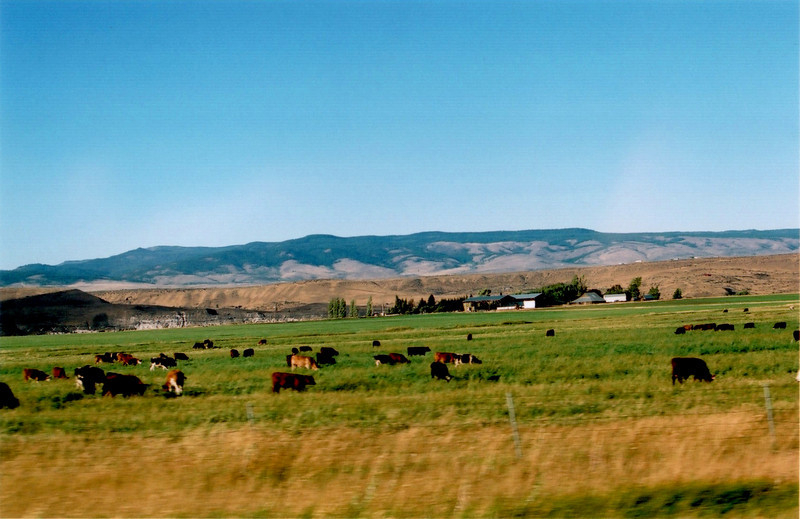 31 Cows.jpg