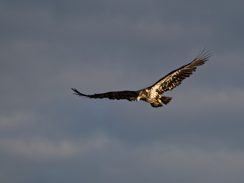 A juvenile bald eagle keeps an eye out for salmon in the Mendenhall River.