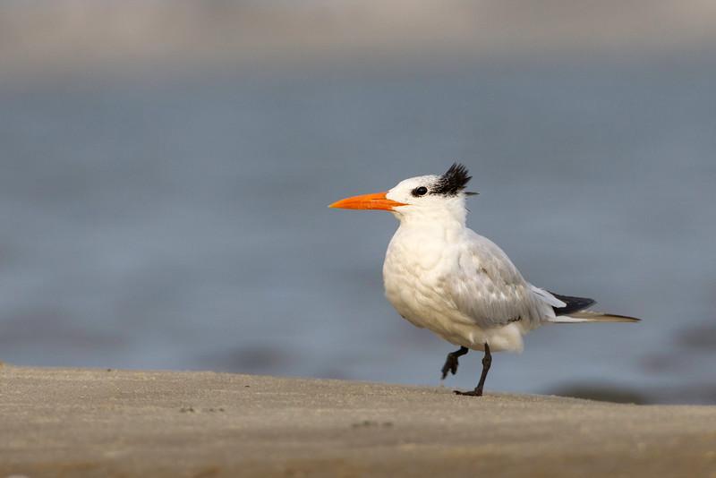 Royal tern adult 2012-09-02_untitled_shoot__L1G5386-Edit.jpg
