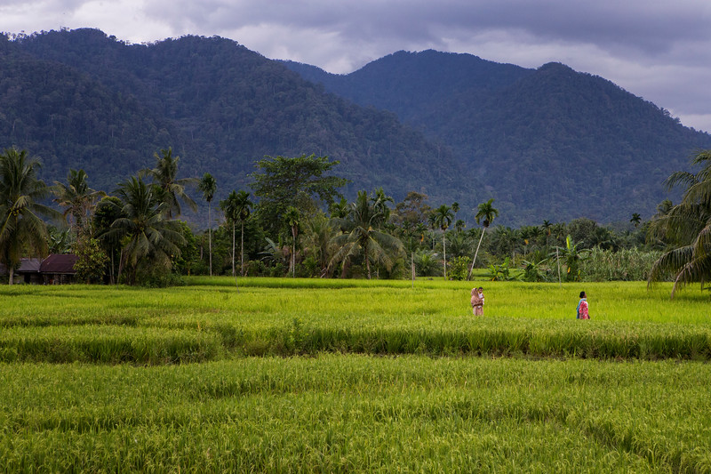 Women walk through rice paddies near Gunung Leuser National Park. Although they live in close proximity, not all villagers have seen an Orangutan