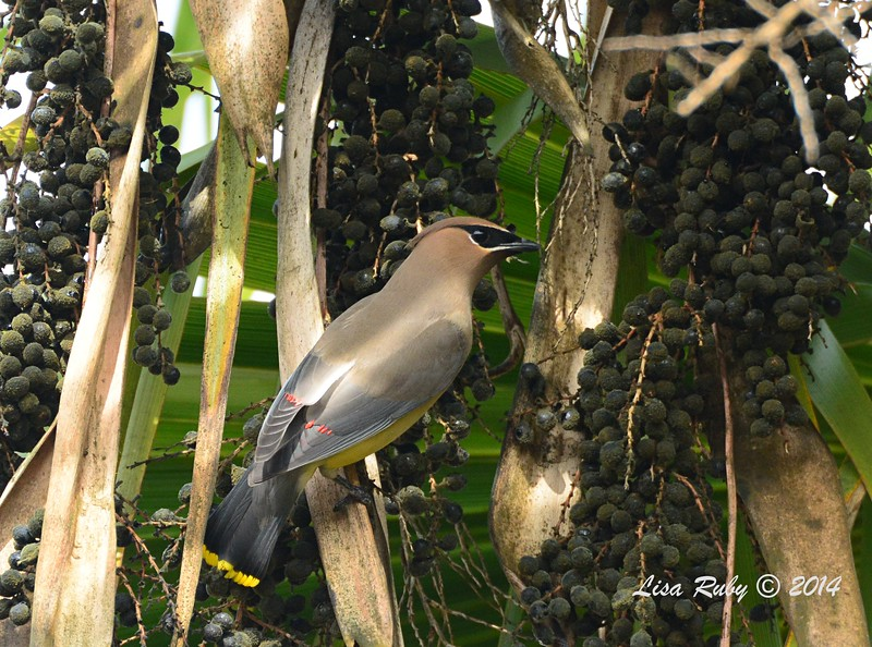 Cedar Waxwing - 12/11/2014 - Backyard Sabre Springs