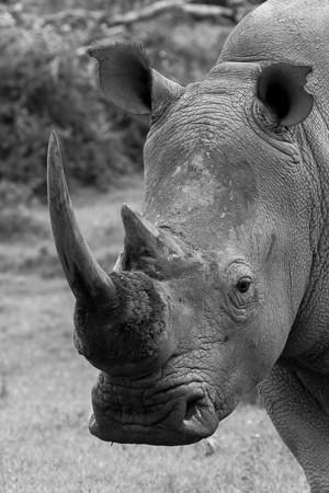 Rhinoceros (Rhinocerotidae)