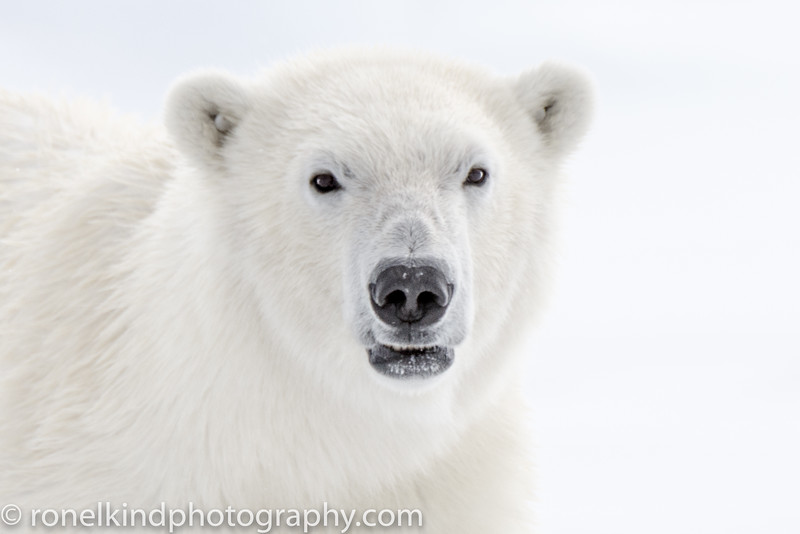 Young Female Polar Bear