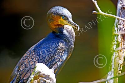 Double-Crested Cormorant Wildlife Photography