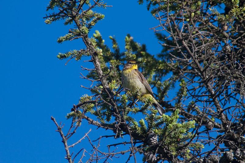 Palm Warbler Gray Jay Way Welcome Center Owl Avenue Sax-Zim Bog MN IMG_2120.jpg