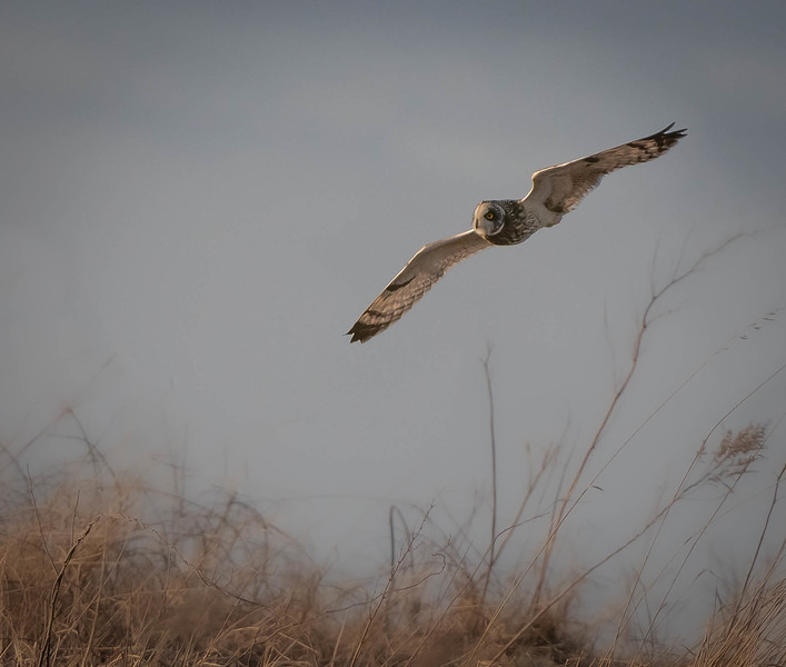 Short-eared Owl in the fog