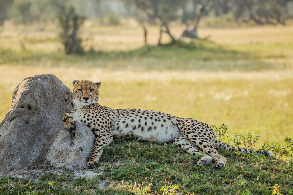 Best Safari in Africa - Cheetah