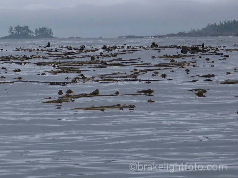 Sea Otters off Kwakiutl Pt
