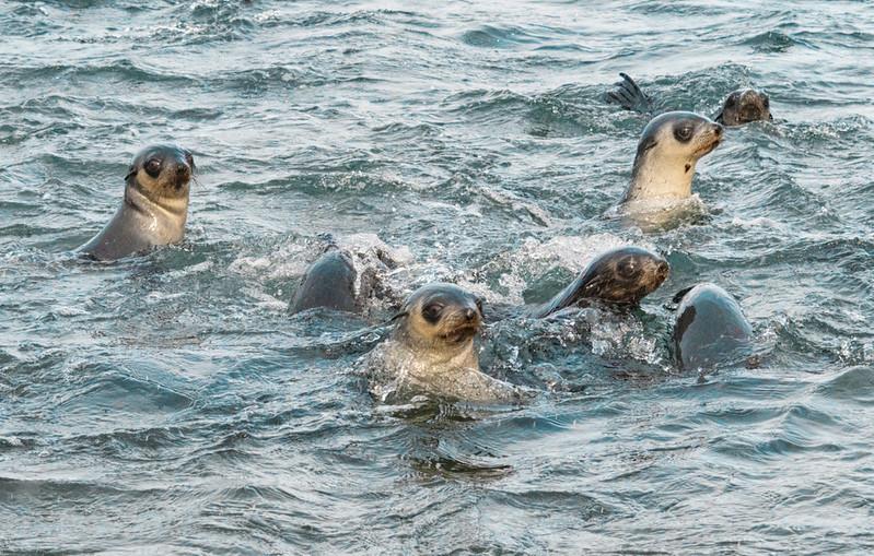 Seals_Fur_Stromness_South Georgia-12.jpg