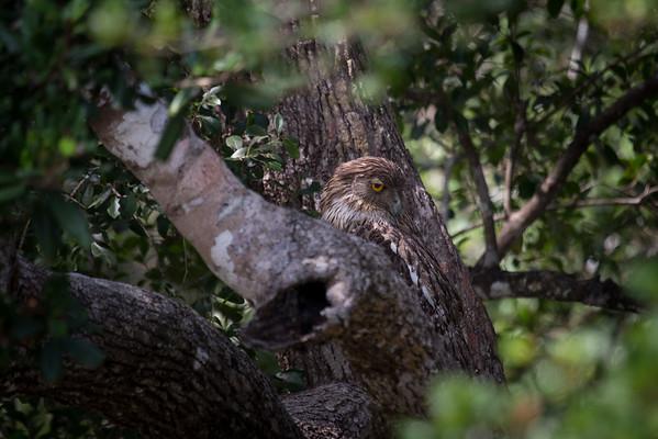 Fish Owls