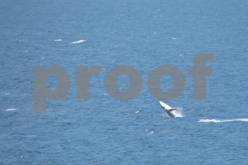 Seal rocks whale 1 4.JPG