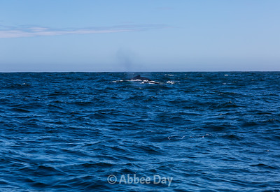 Cow and calf humpback whale surface together