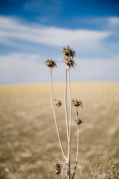 Thistles, summertime, Spain