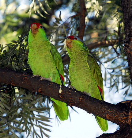 Lilac-crowned Parrot/ Amazon