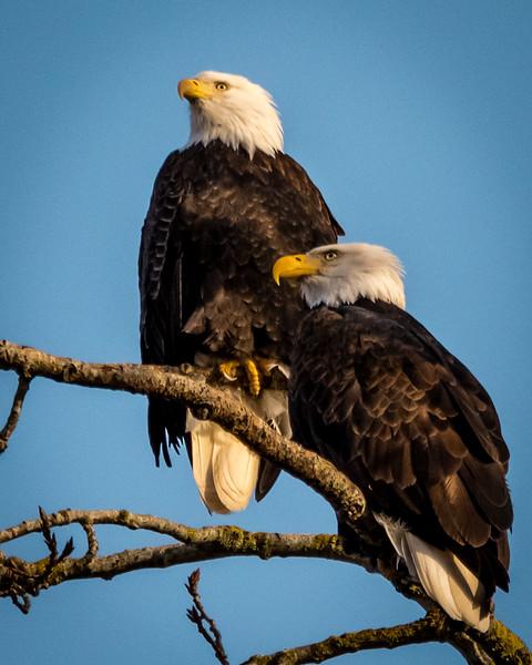1 - Nesting pair of Bald Eagles in Steigerwald Wildlife Refuge.