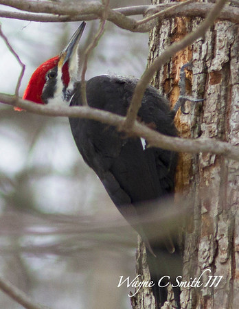 Pliated Woodpecker
