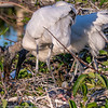 Wood storks with small chicks