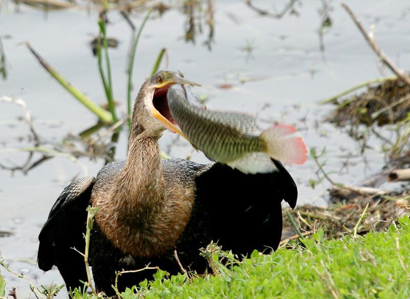 anhinga eating a tilapia