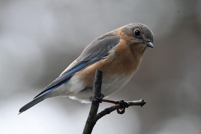 Bluebird Female (292).JPG