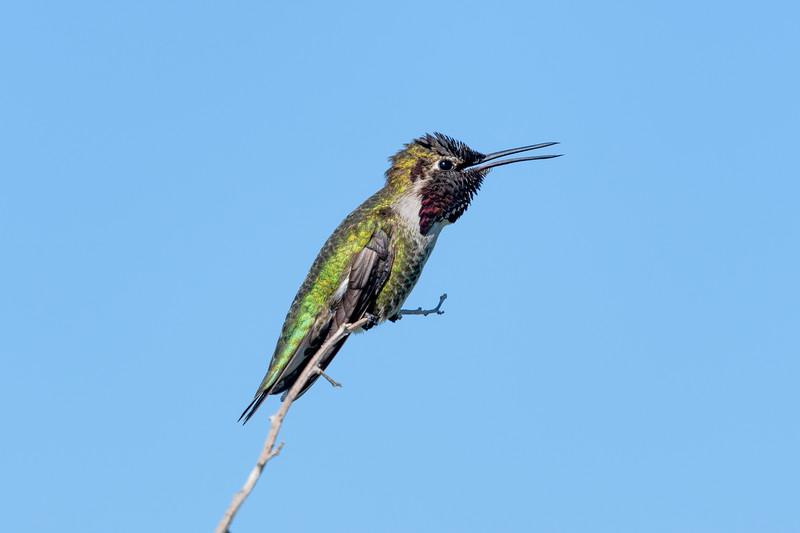 Hummingbird, Bolsa Chica Preserve