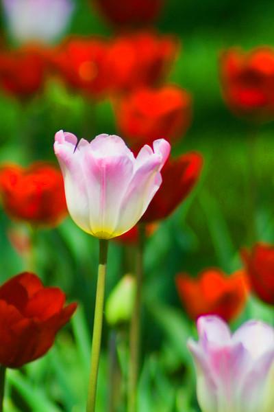 Tulip in Memorial park near the office