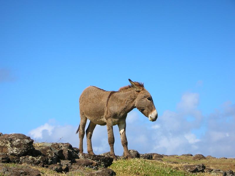 Wild Donkey in Maui