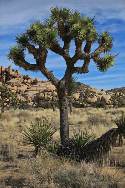 The tree the park was named for - Joshua Tree National Park.  Joshua trees are found primarily in the Mojave Desert.  The name was given by Mormon settlers because the tree reminded them of the Biblical story of Joshua raising his hands to the sky in prayer.