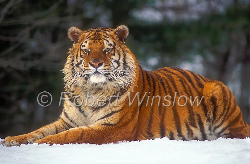 Tigers - Siberian Tigers