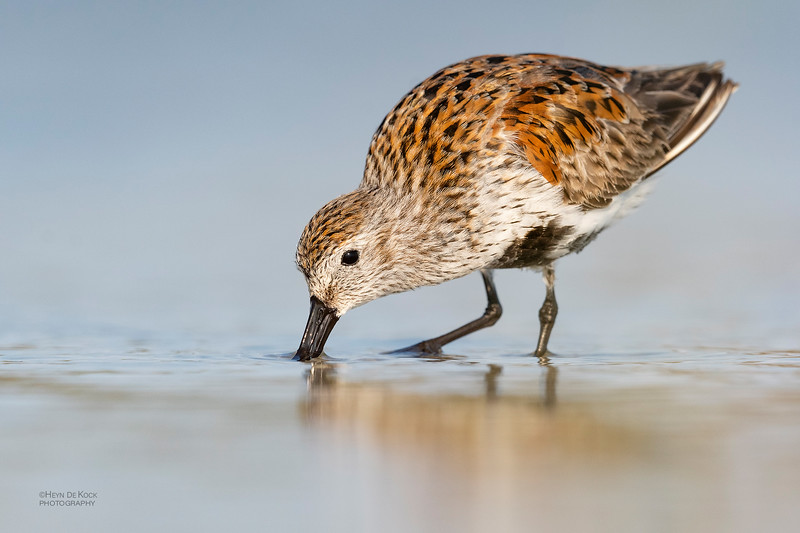 Dunlin, Fort De Soto, St Petersburg, FL, USA, May 2018-2.jpg